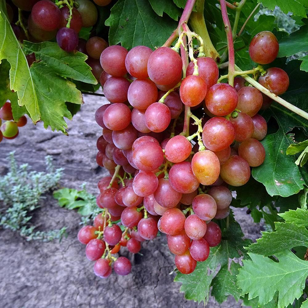 Виноград блестящий описание сорта фото отзывы - аграрный журнал