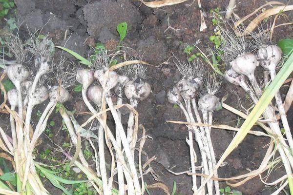 Как вырастить чеснок из семян: инструкция с фото