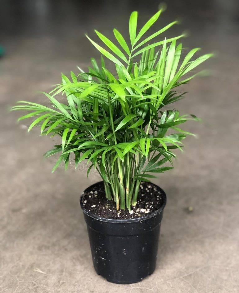 Цветок хамедорея — уход в домашних условиях