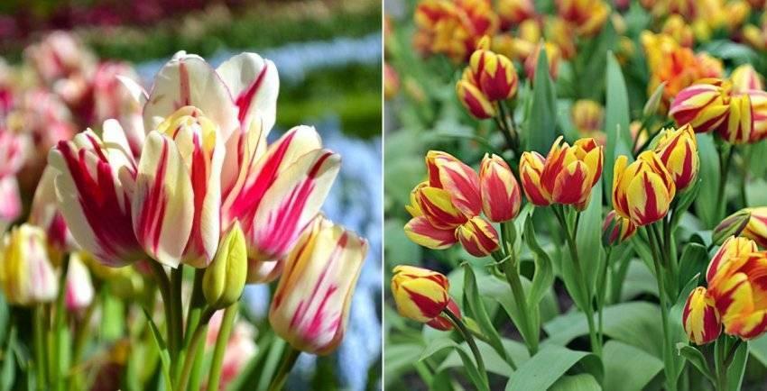 Крупнейшие тюльпаны и другие виды tulipa l., фото