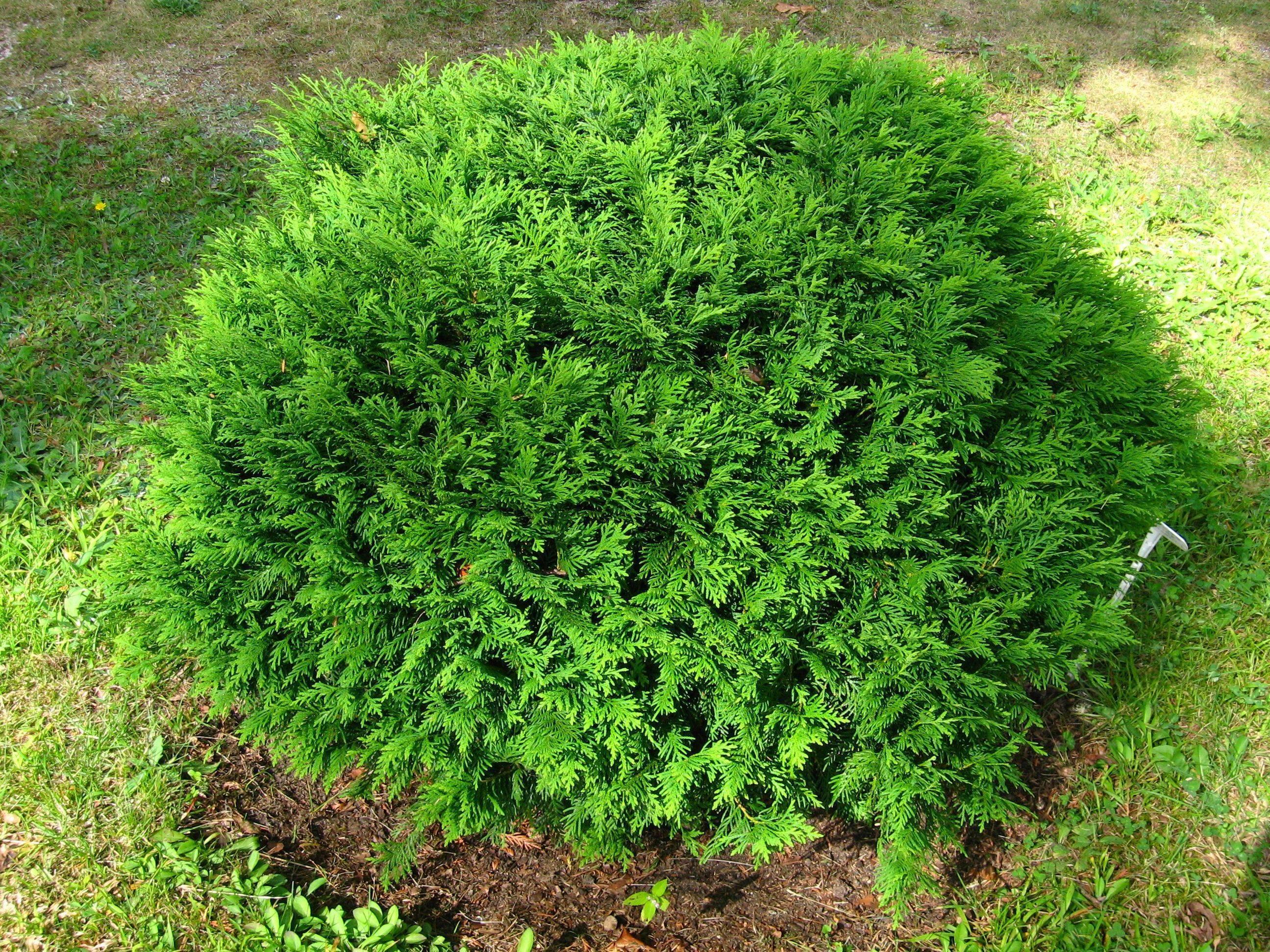 ✅ туя западная тедди: фото и описание, посадка и уход в открытом грунте, в ландшафтном дизайне, размножение - tehnoyug.com