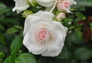 Плетистые розы: посадка, уход, выращивание