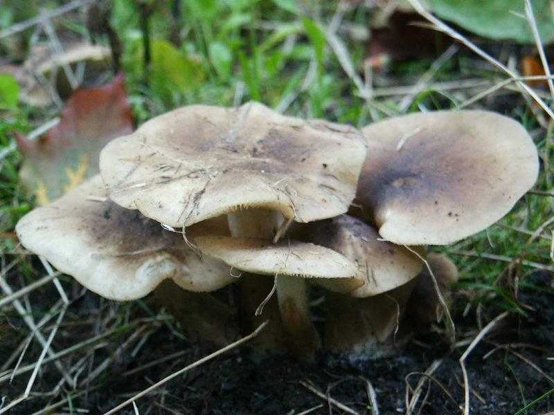 Рядовка: грибы съедобные и несъедобные с фото и описанием