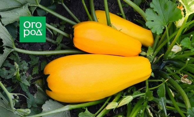 Желтоплодные кабачки — особенности, положительный отзывы и фото