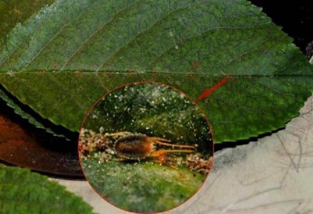 Галловый клещ на груше: описание с фото, меры и средства борьбы, чем обработать