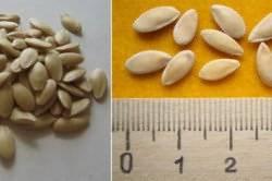 Как обработать семена огурцов перед посадкой, нужно ли замачивать и проращивать