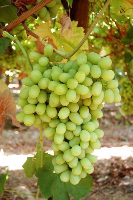 Лучшие сорта винограда без косточек: описание, особенности