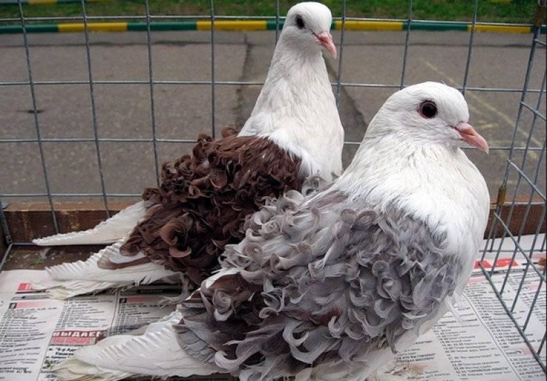 Вакцинация голубей от вертячки, сальмонеллёза, оспы: описание, виды вакцин, инструкция