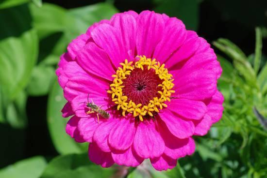 Цинния (60 фото): описание, выращивание из семян, сроки и схема посадки в открытом грунте, сорта, выращивание, уход, сочетание с другими растениями, использование в ландшафтном дизайне