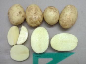 """Картофель сорта """"агата"""": описание, характеристики, урожайность"""