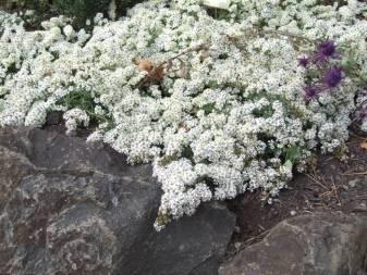 Астра вересковая почвопокровная посадка и уход фото   мой сад и огород