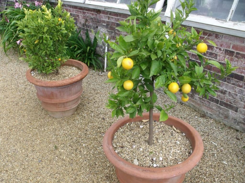 Размножение лимона черенками в домашних условиях - пошаговая инструкция и советы экспертов (90 фото)