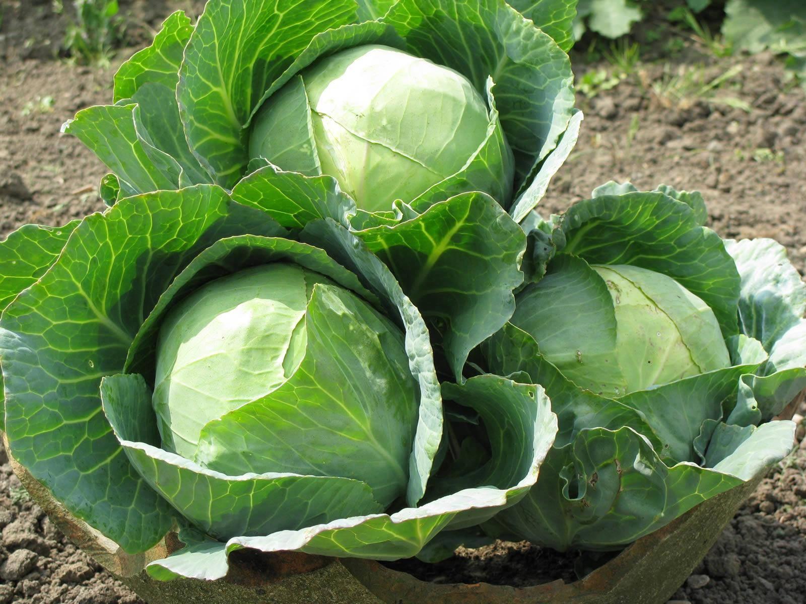 Описание сорта капусты амагер — особенности выращивания