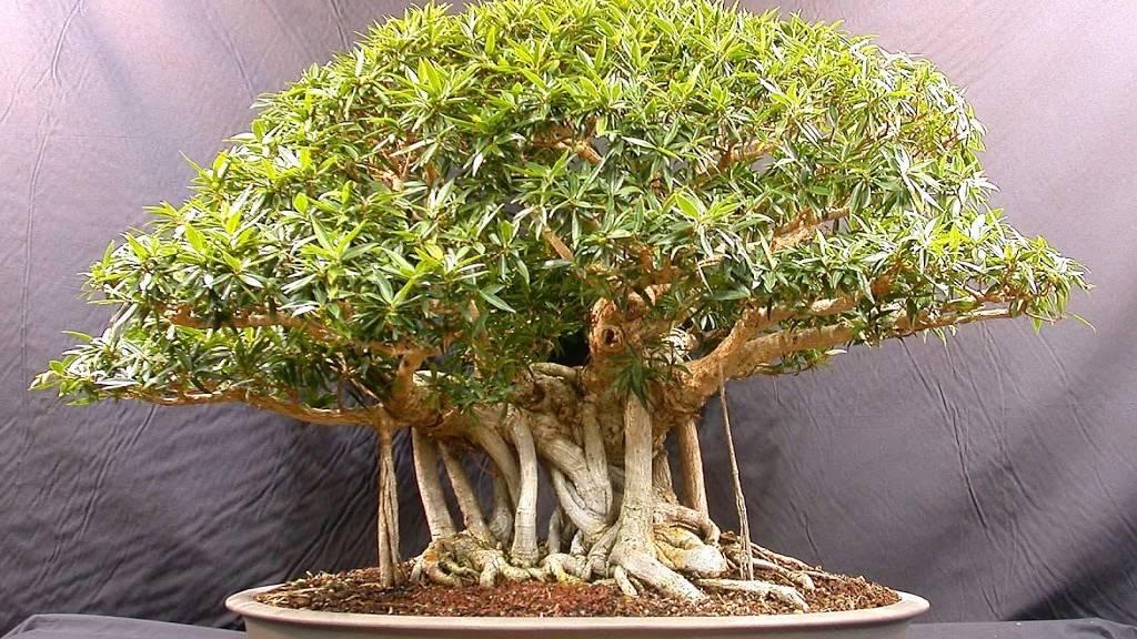 Как вырастить дуб из желудя в домашних условиях: советы садоводов по уходу и выращиванию дубов (105 фото)