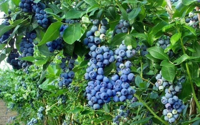 Черника садовая: подготовка почвы, посадка, выращивание из семян и уход