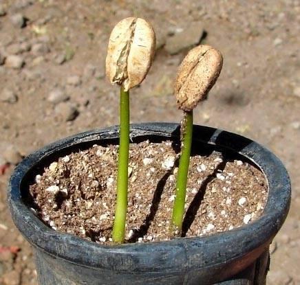 Комнатное растение кофейное дерево: где растет, как цветет, как размножить кофейное дерево в домашних условиях
