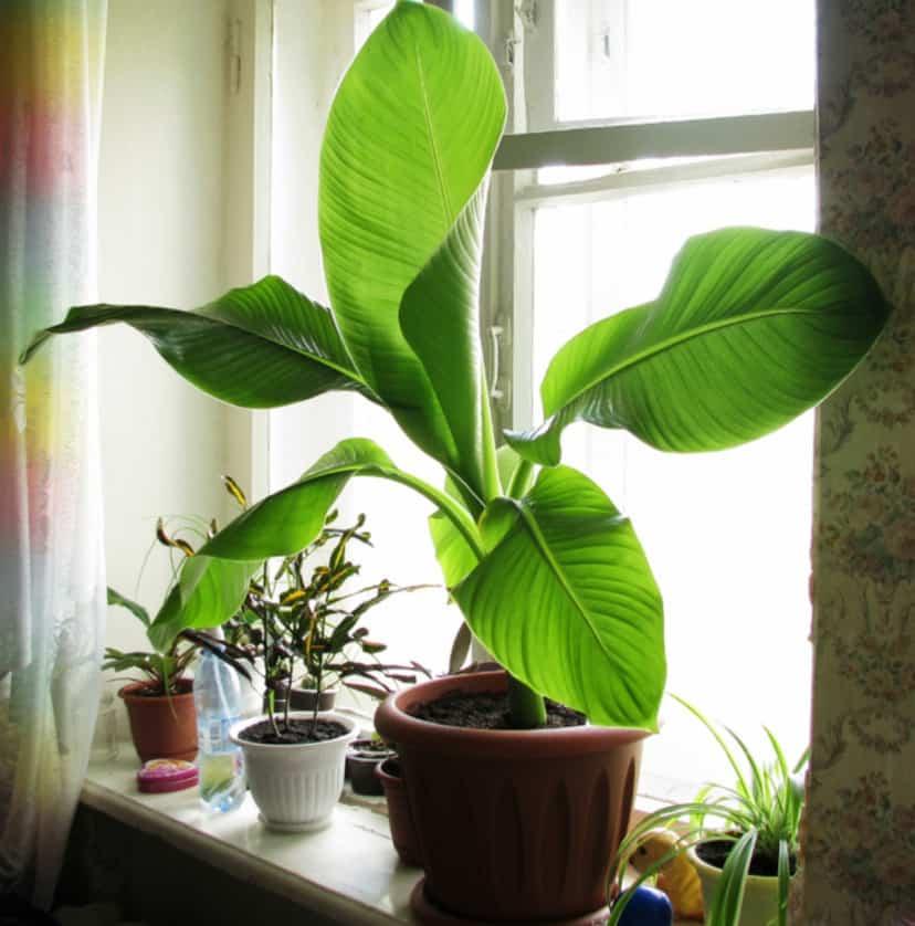 Как посадить бананы комнатные дома и в открытом грунте: как правильно ухаживать