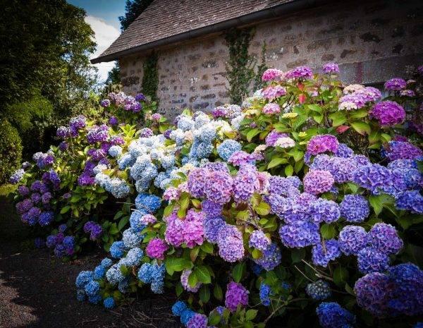 Когда пересаживать гортензию новичку и опытному садоводу?