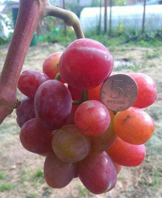 "Характеристика столового сорта винограда ""эверест"""