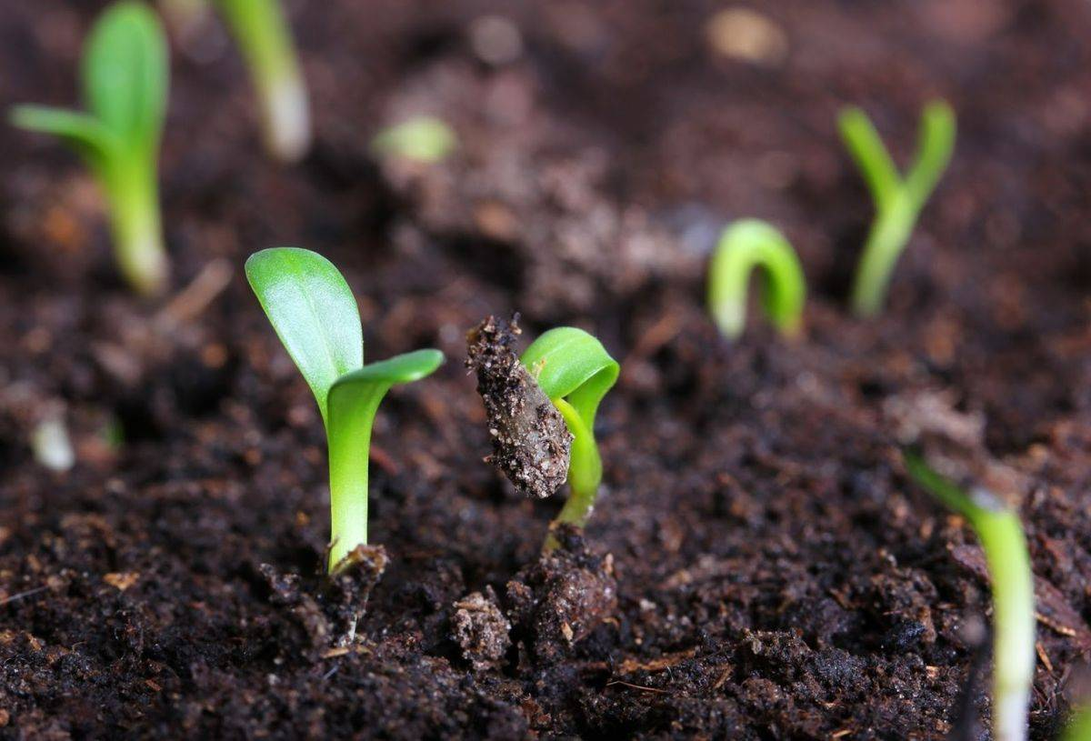Посев огурцов в кипяток