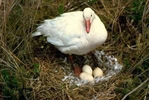 Когда начинают нестись индоутки и сколько сидят на яйцах?