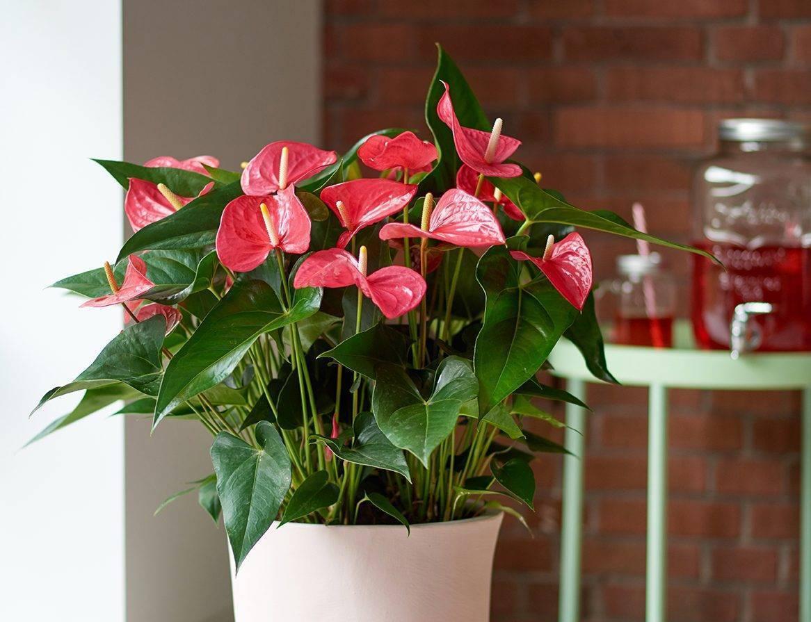 Почему не цветет антуриум в домашних условиях? типичные ошибки начинающих цветоводов