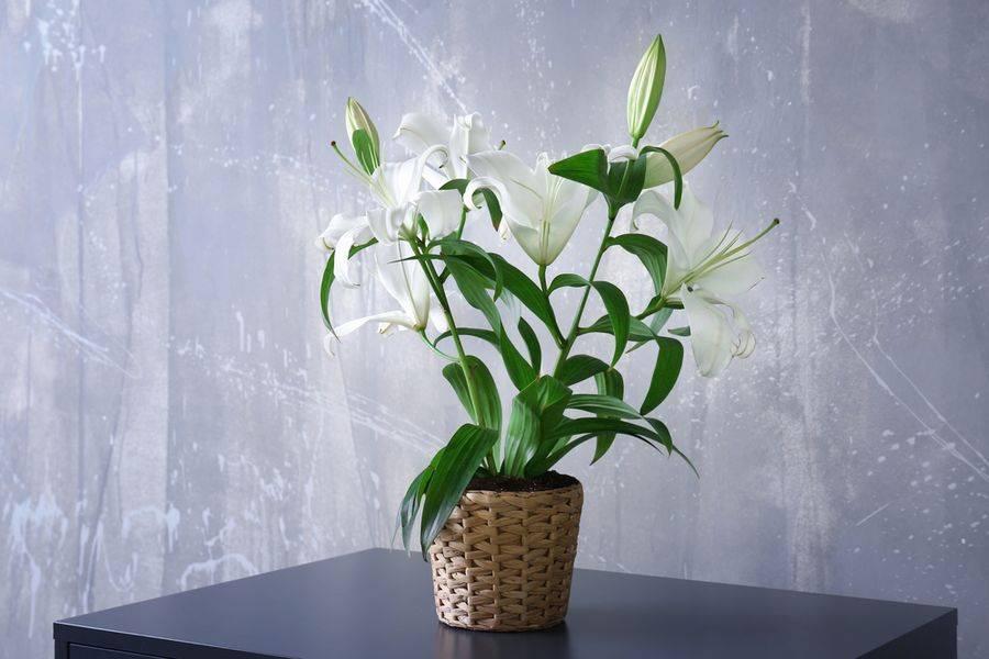 Садовые лилии — как выращивать в комнатах? уход в домашних условиях. фото — ботаничка.ru