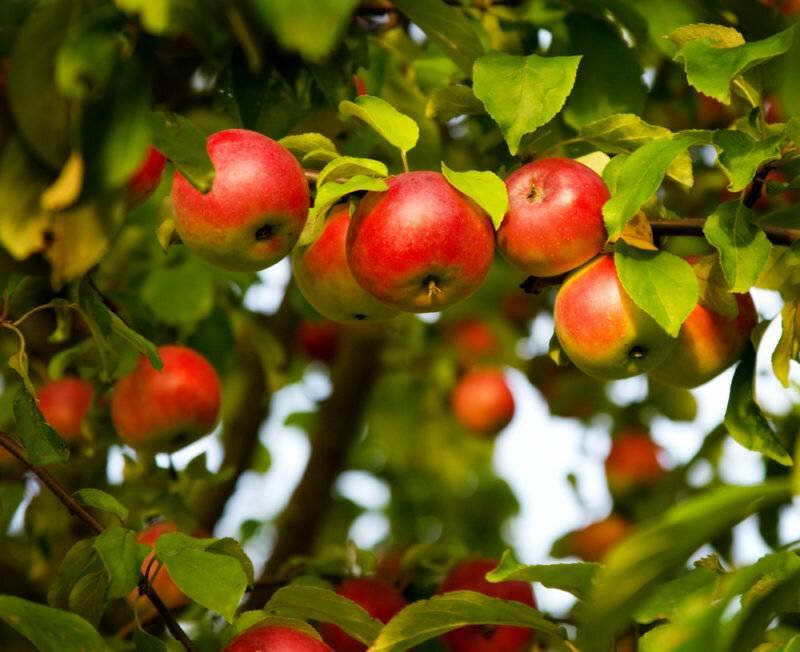 Не зацвела яблоня в этом году: цветёт не каждый год