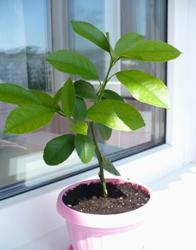 Земля для лимонов в домашних условиях: какой грунт нужен для растения? в какую почву сажать? советы и рекомендации selo.guru — интернет портал о сельском хозяйстве