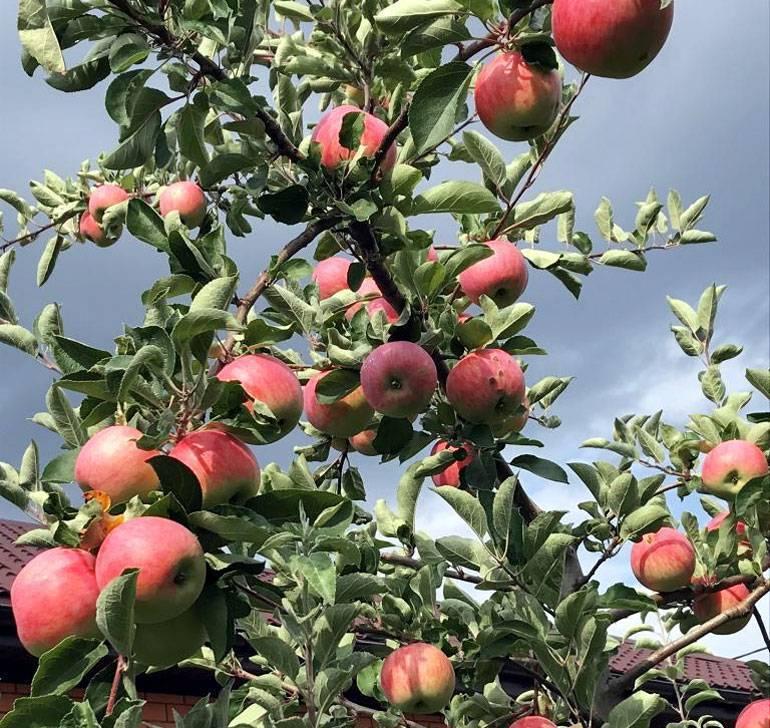 Яблоня «мельба»: описание сорта и отзывы садоводов, достоинства и недостатки, посадка и уход