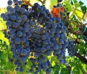 Виноград изабелла: описание сорта, выращивание, отзывы