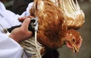 Возбудитель спокойствия: насколько опасен птичий грипп   статьи   известия