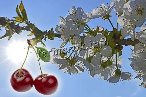 Опылители для вишни малышка | комнатные цветы