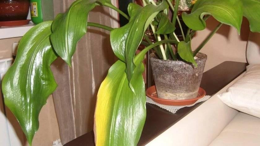 Эухарис: почему желтеют и отмирают листья, правильный уход, фото