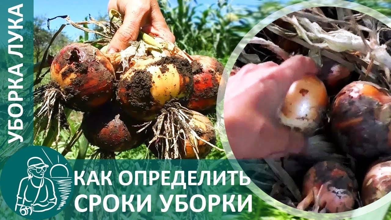 Когда и как убирать лук с грядки: сроки выкопки по регионам, сушка и подготовка к хранению