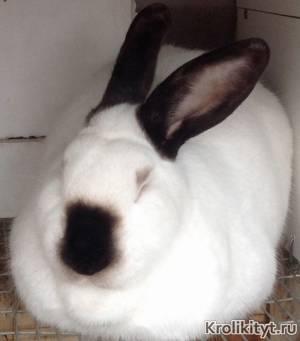 Выращивание и разведение кроликов калифорнийской породы