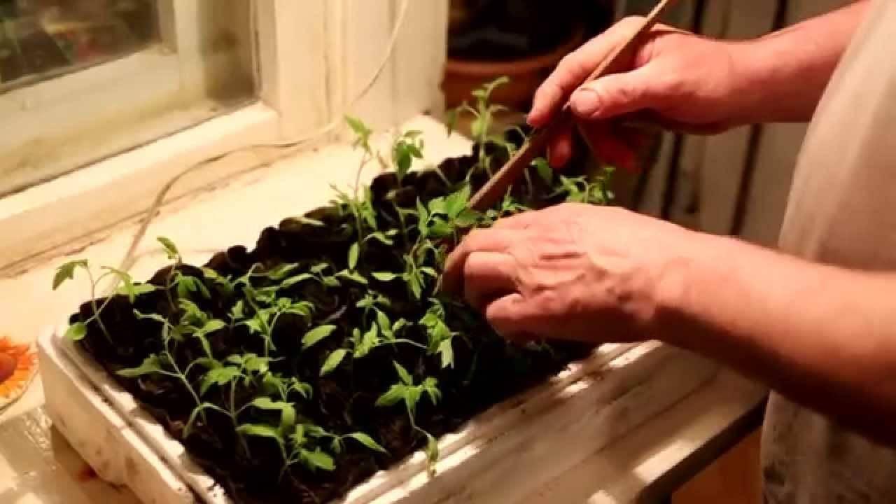 Дерево с томатами. как сажать рассаду, чтобы получить добрый урожай