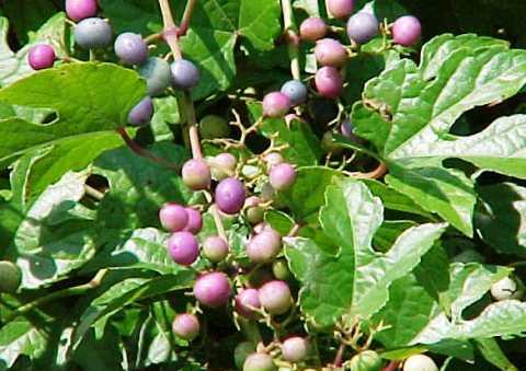 Виноградовник: описание растения, разновидности, особенности внешнего вида, места произрастания, нюансы культивирования