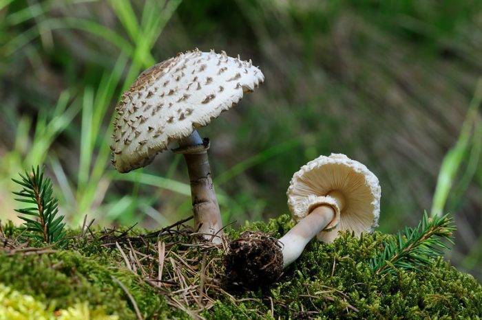 Гриб-зонтик – описание, съедобные и ядовитые виды, фото