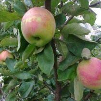 """Яблоня """"заветное"""" - особенности и достоинства сорта"""