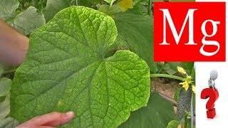 Почему скручиваются листья у огурцов: причины, лечение