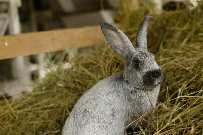 Описание и характеристика кроликов породы полтавское серебро, уход за ними