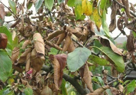 Мучнистая роса на яблоне, как бороться? что такое белый налет на листьях, его лечение