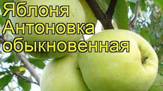 Яблоки антоновка: 50 фото, ? виды и сорта, полезные свойства и противопоказания