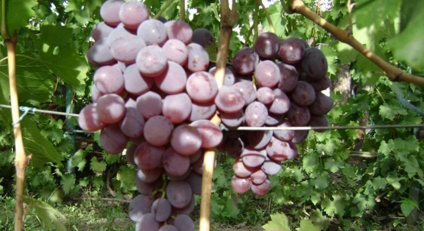 Виноград фавор: описание сорта и его фото, характеристики и особенности, болезни и вредители