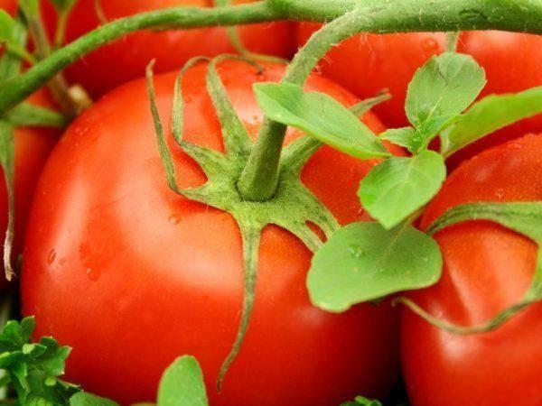 Неприхотливый томат джина: стабильные урожаи в любое лето
