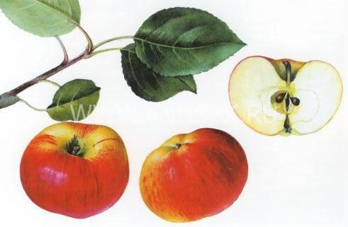 Яблоня марина: описание сорта, фото, отзывы и начало плодоношения