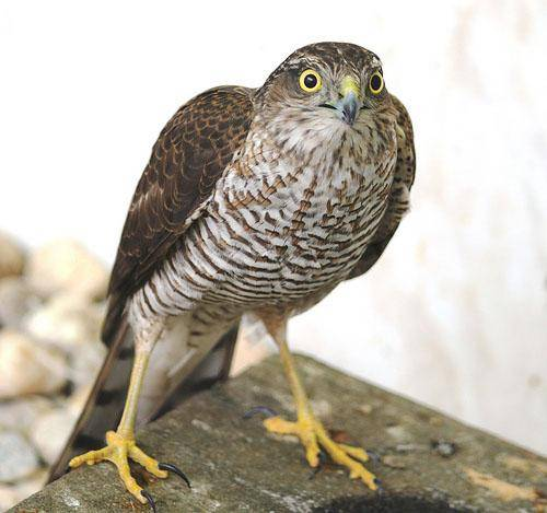 Птицы ястребы-перепелятники