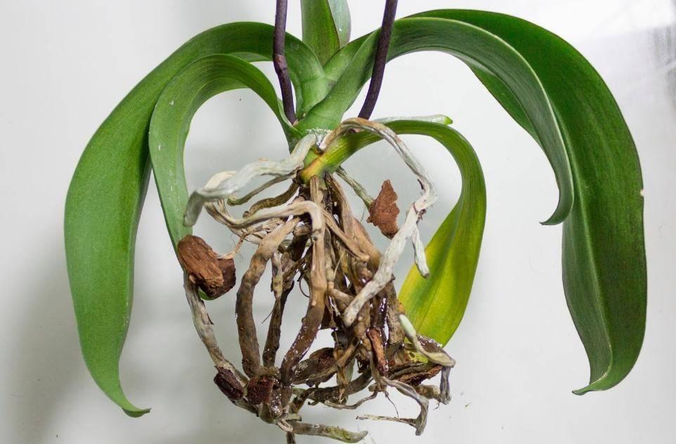 Как понять, что орхидея погибает и что делать, как восстановить и помочь цветку, если он вянет, фото и видео от специалистов