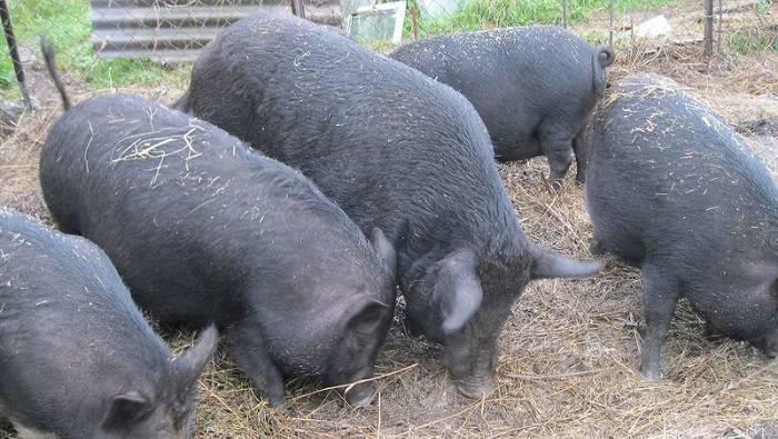 Порода свиней кармалы: характеристика, уход и кормление